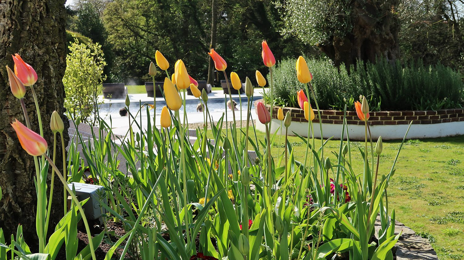 Tulips in the foreground and through them you can see people swimming in the outdoor pool